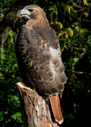 Red-tailed hawk. Photo by Greg Hume.