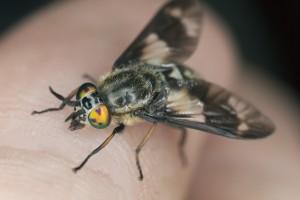 fly gadfly deerfly