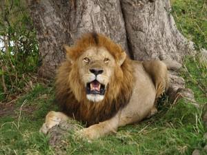800px-Lion_in_masai_mara