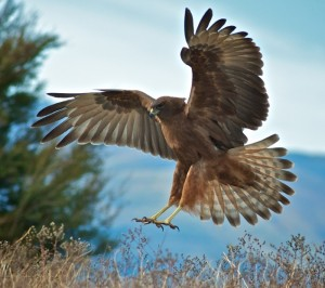 Got lucky today with 3 hawks happy to land near my hide.