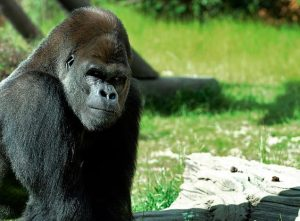 harambe didn t die so you could be intellectually lazy above the law