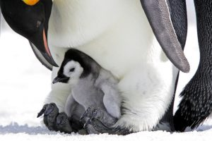 http://fiftyshadesofgay.co.in/FSOG Picks/Gay Penguins Steals An Egg To Make A Family